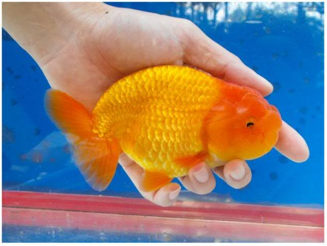 aquarium fish   lionhead goldfish pictures fun animals