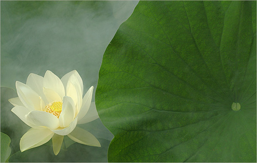 White lotus flower flower hd wallpapers images pictures tattoos white lotus flower mightylinksfo