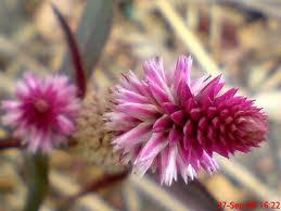 tanaman obat dan khasiatnya