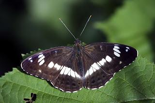 Para ampliar Limenitis camilla (Ninfa del bosque) hacer clic