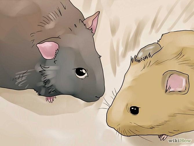cara hamster cepat hamil dengan baik