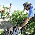 Los vinos de uva Bobal tienen más resveratrol