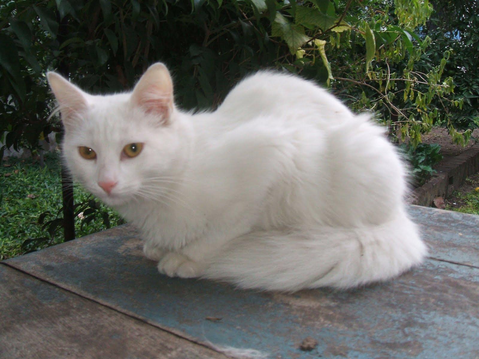 Un viejo gato azul el gato de angora turco for Ahuyentar gatos de mi jardin