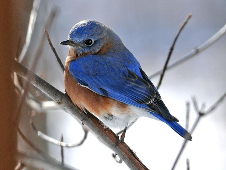 two blue birds essay