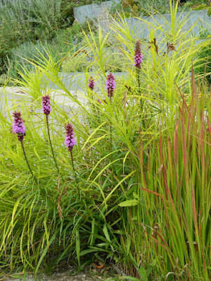 Blazing Star Liatris spicata Floristan Violet at Toronto Botanical Garden by garden muses-not another Toronto gardening blog