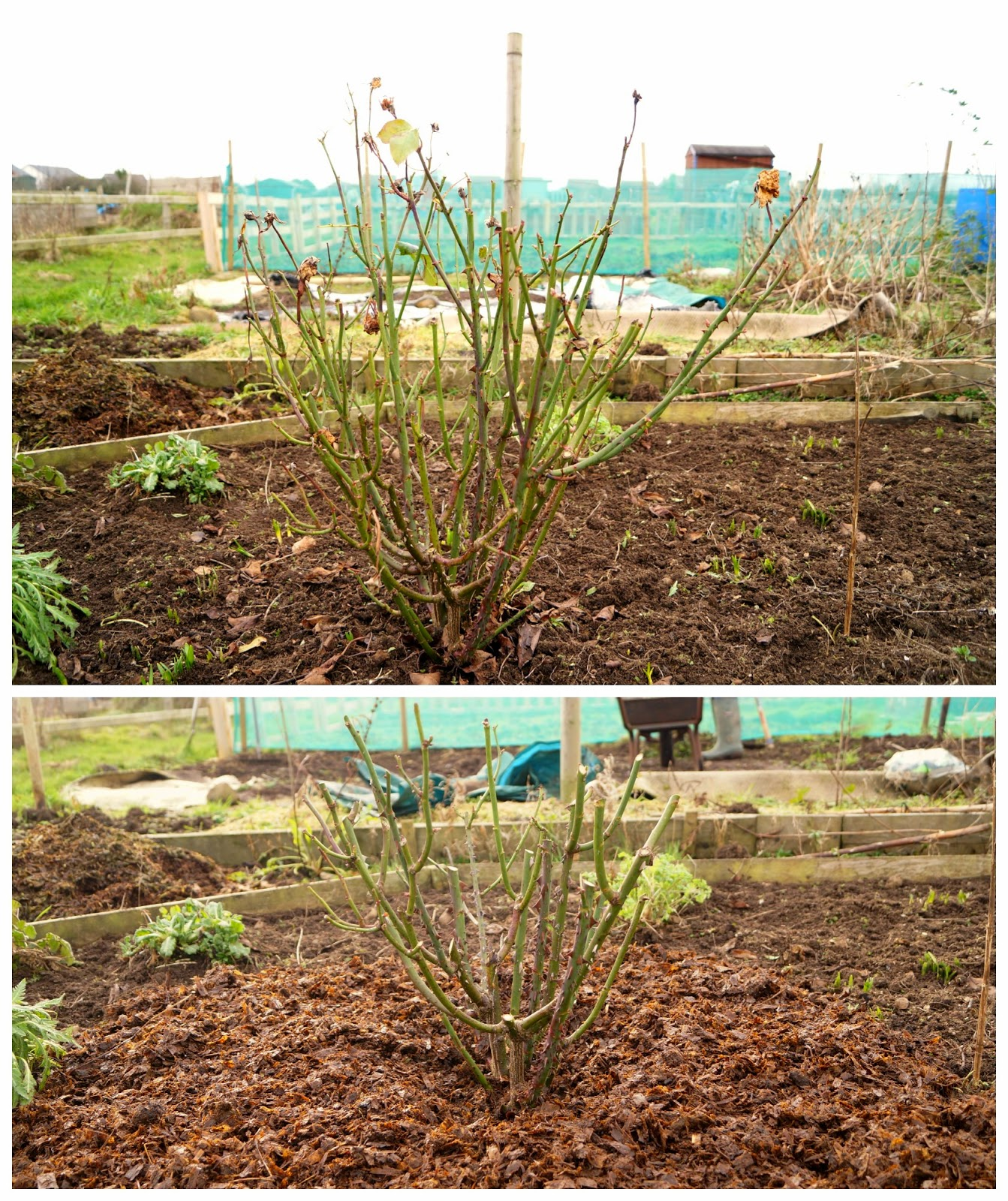 rose pruning - 'growourown.blogspot.com'