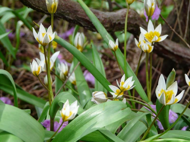 Gambar Tulip Biflora/Polychroma