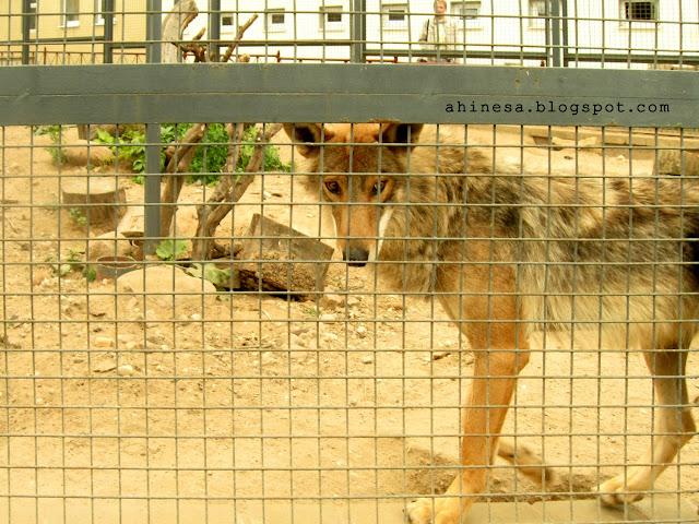 волк, гродно зоопарк, волк в клетке