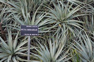 san francisco botanical garden puya mirabilis