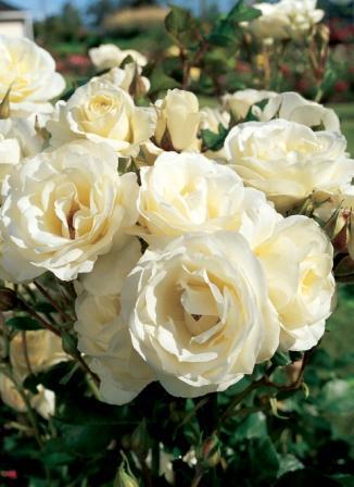 Moondance rose