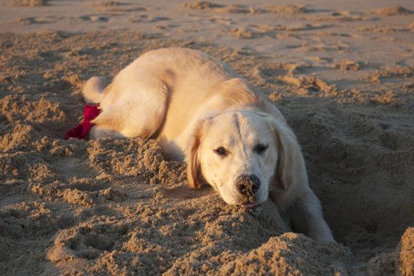 golden retriever beach