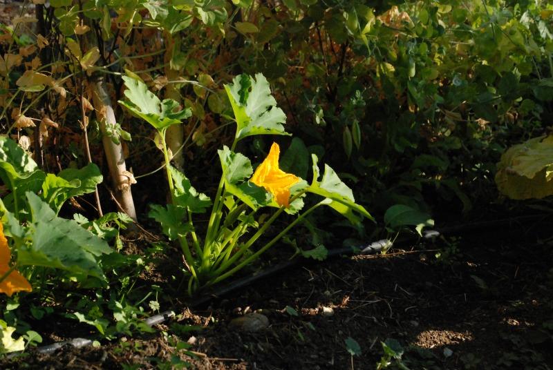 kosenrufu mama fiori di zucca