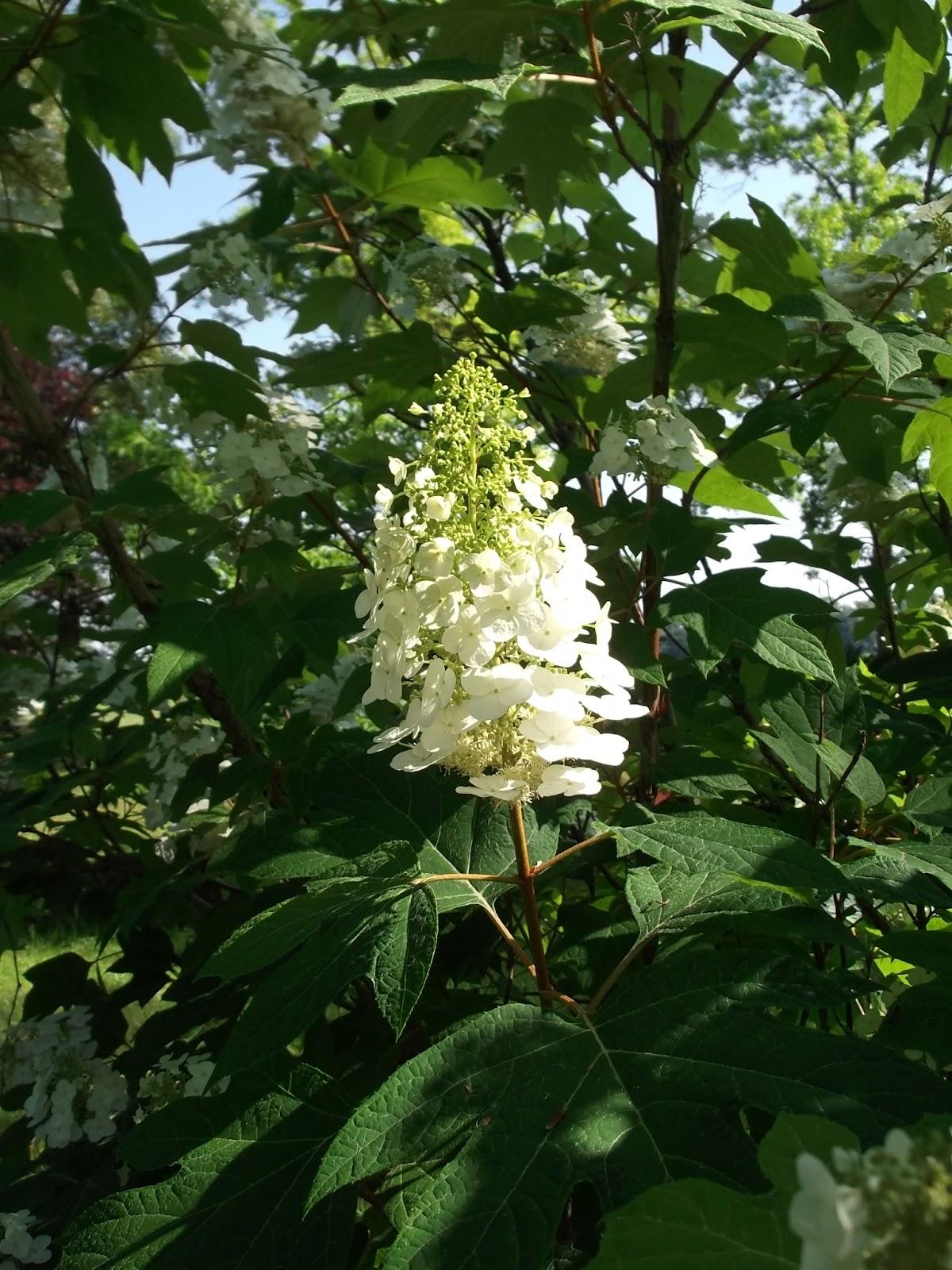 Secrets of a seed scatterer quercifolia leaf of an oak for Hydrangea quercifolia