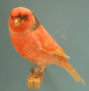 canary stafford