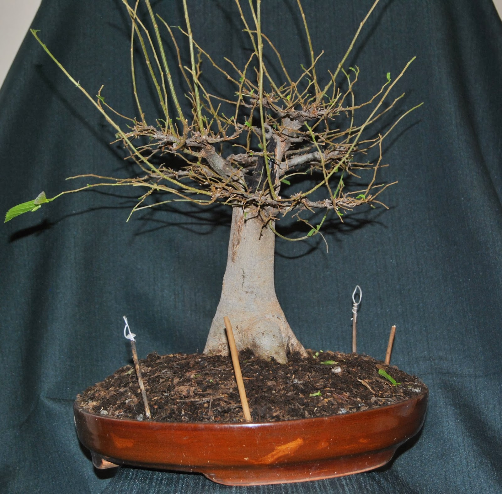 Celtis In A Baobab Style LENNARD39S BONSAI BEGINNINGS