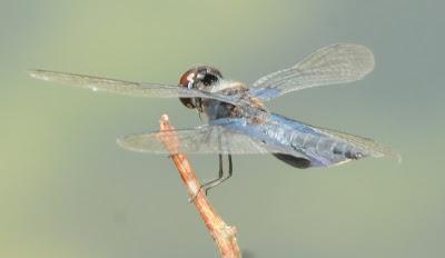 Sapphire Flutterer (Rhyothemis triangularis)