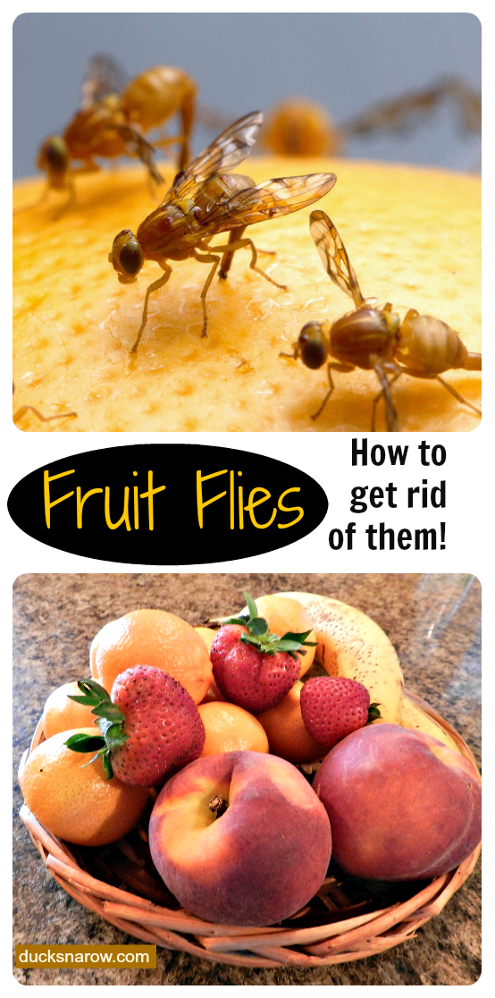 how to get rid of fruit flies naturally, fruit fly trap