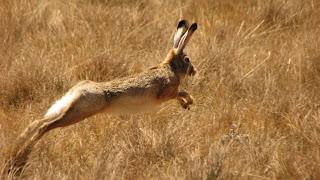 Ethiopian highland Hare