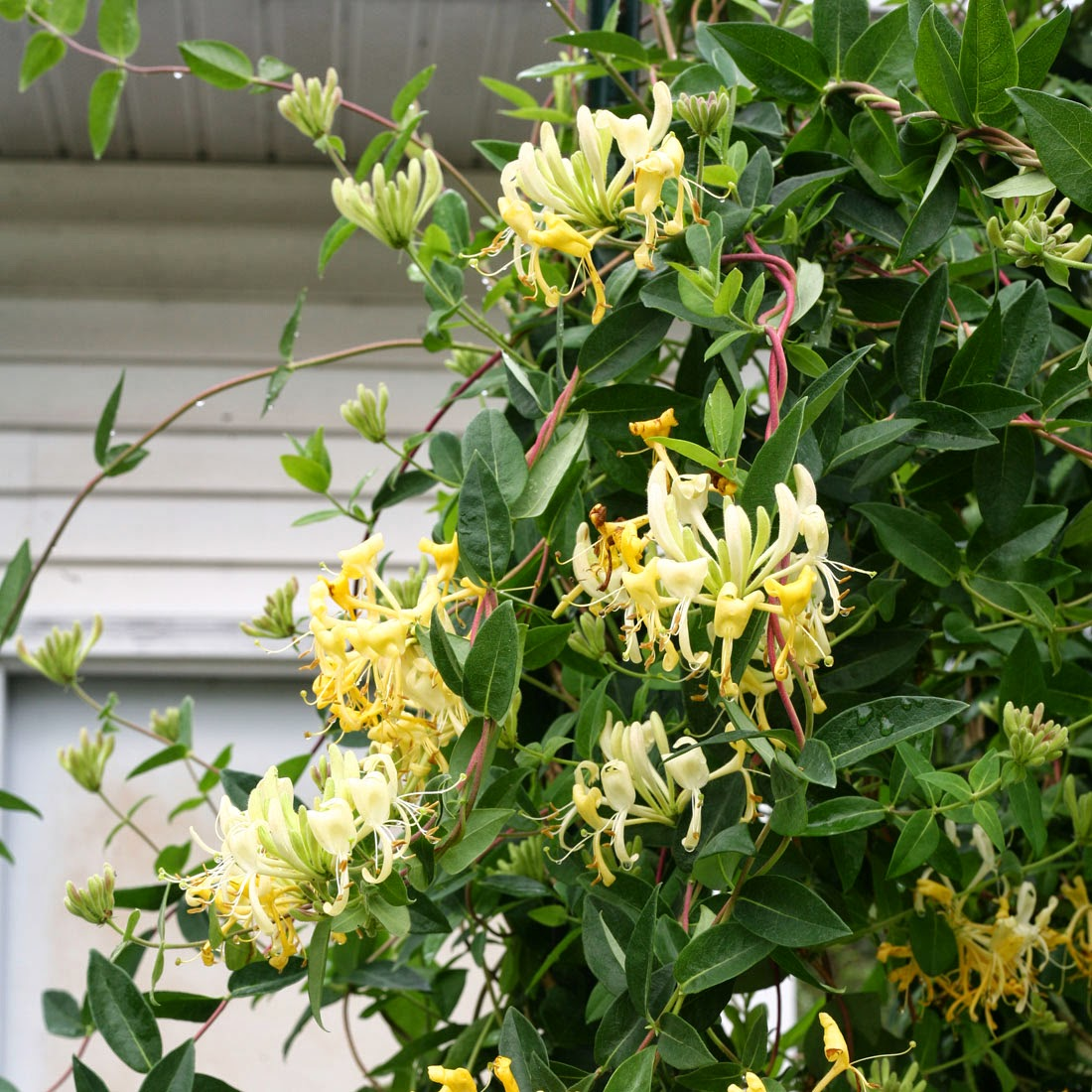 Honeysuckle caprylic: planting and care