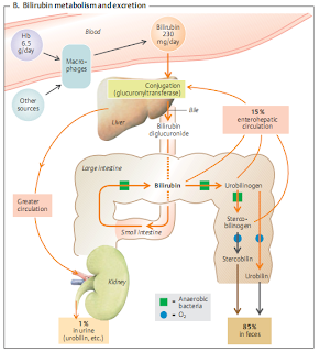 Go Green: The Anti-Inflammatory Effects of Biliverdin Reductase