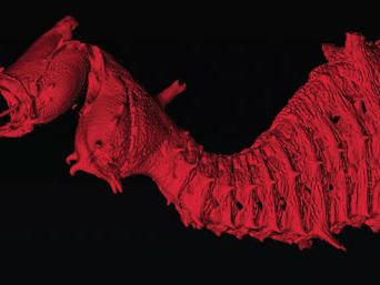 Nueva especie de dragón de mar