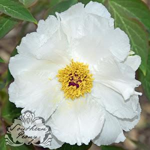 Tree Peony 'White Phoenix'