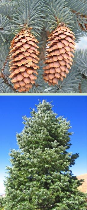 picea pungens cv glauca oh 76 fall winter plant id. Black Bedroom Furniture Sets. Home Design Ideas