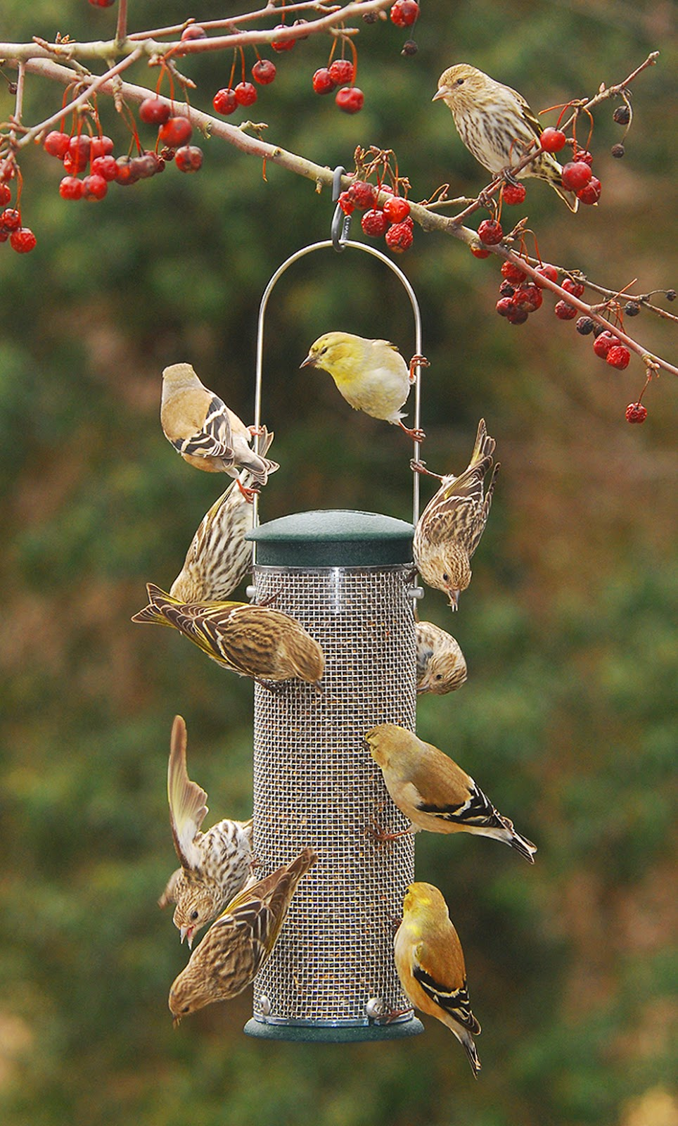 feeder qt forever feeders product nyjer bird display yellow prod thistle gs com at drsfostersmith wbird wild cfm