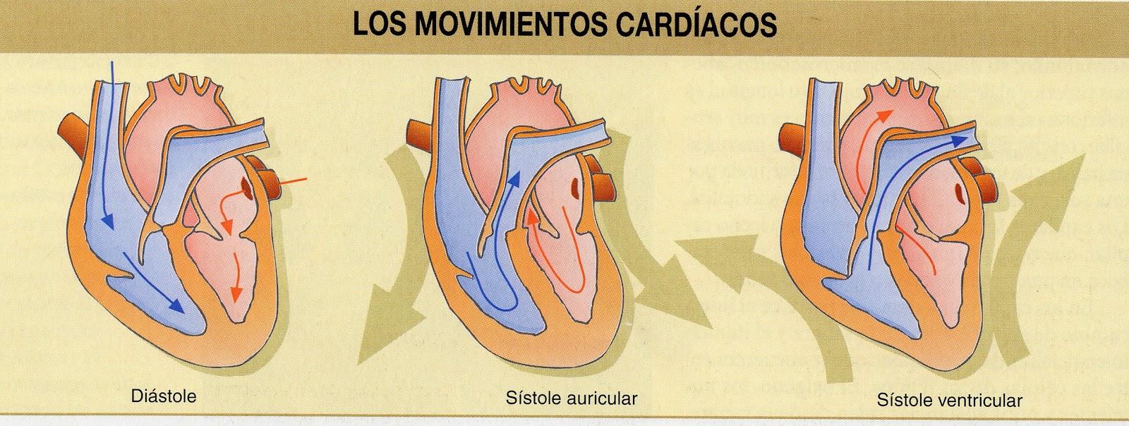 Circuito Pulmonar : Los circuitos sistÉmicos y pulmonar