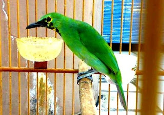 Ciri-ciri Burung Cucak Ijo Jantan dan Betina