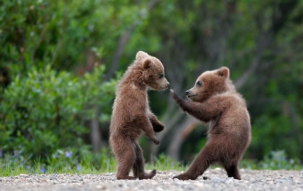Robert Eringer cute bear fight