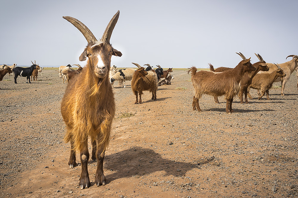 Kozy na pustyni Gobi