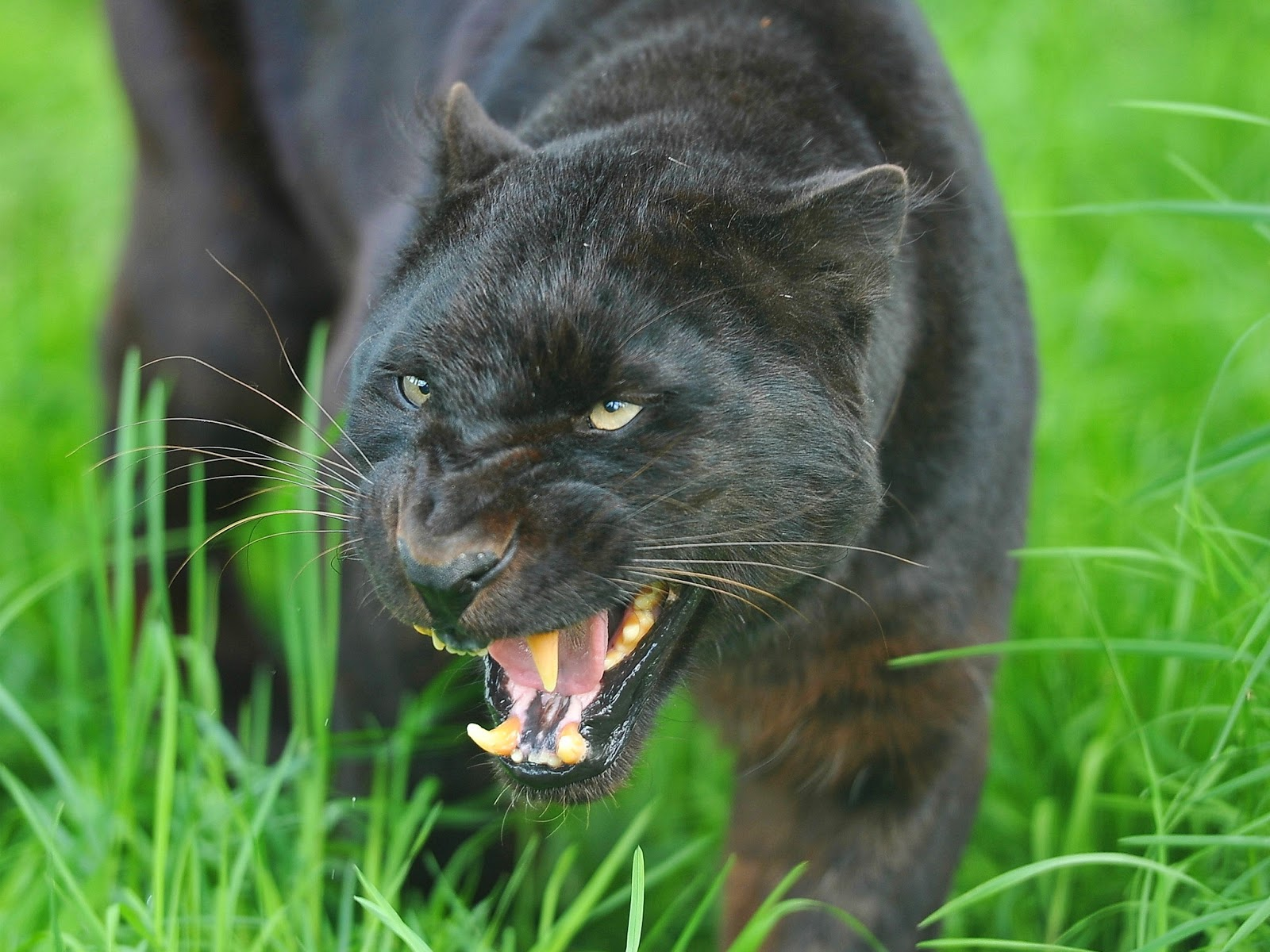 Angry black jaguar - photo#12