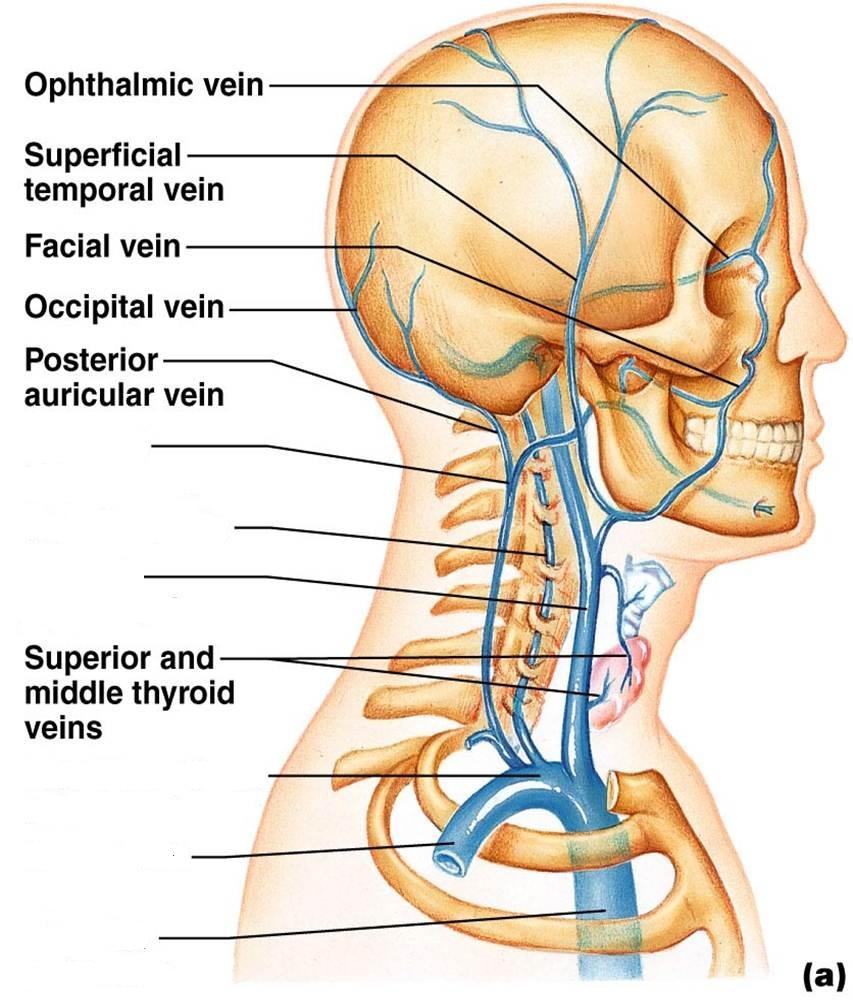 CLASS BLOG: BIO 202 Arteries and veins