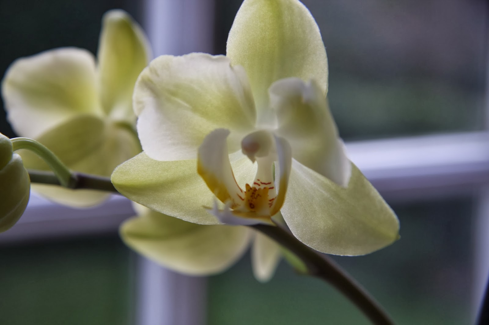 Creamy Orchid
