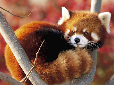 funniest-red-panda-photos