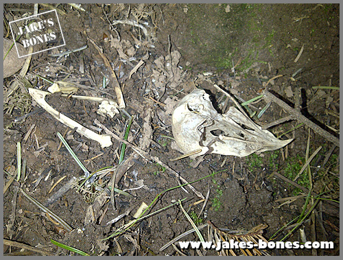 how to clean skulls at home