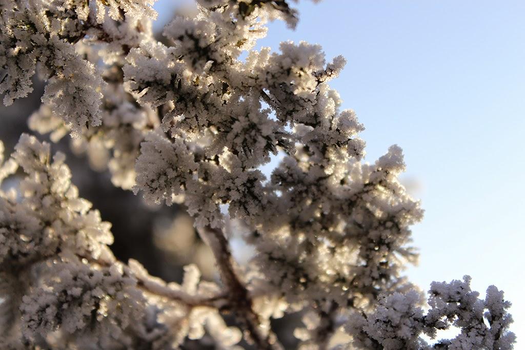 зимняя ветка, ветка в инее, заиндевевшая ветка, зимние деревья