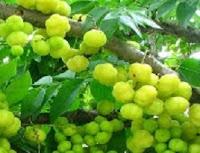 Tumbuhan ceremai ini merupakan suku Euphoorbiaceae. Di beberapa daerah Indonesia namanya berbeda-beda. Di Aceh disebut ceremoi, crème (Gayo), ceremai (Melayu), camin-camin (Minangkabau), careme, crème (Sunda), crème (Jawa). Di Bali disebut Carmen, cermen, careme (Madura), dan sarume (Bima)