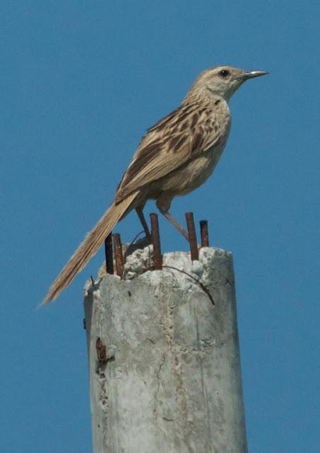 Striated Grassbird (Megalurus timoriensis)