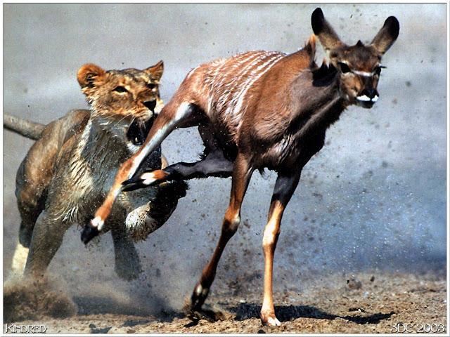 leão-caçando