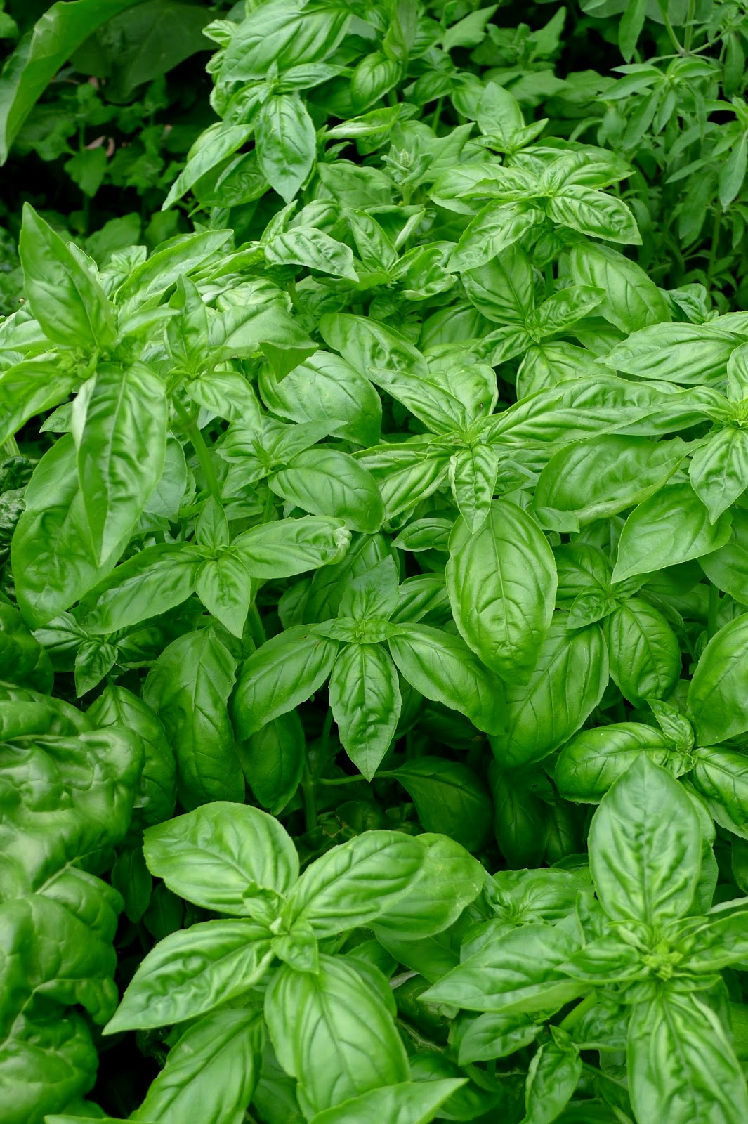 Less Noise,More Green Edible Landscape Project: Sweet Basil, Ocimum Basilicum, annual, herb