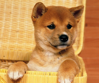 how much does a Shiba Inu cost