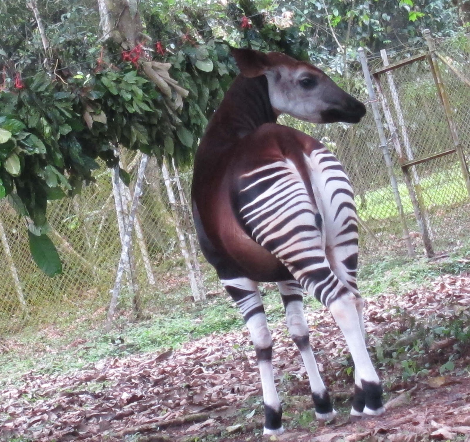 World All Animals: Okapis