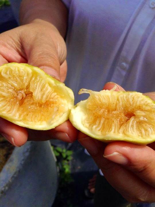 Figs : BRANCO DOS ACORES