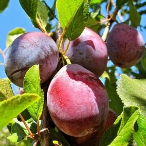 red prune