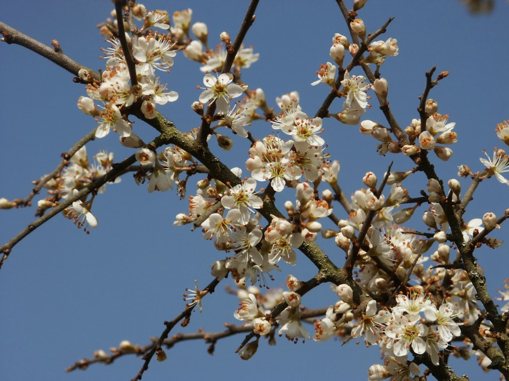 blackthorn tree - photo #10