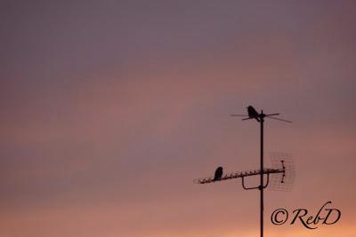 kråkor på TV-antenn i soluppgång. foto: Reb Dutius