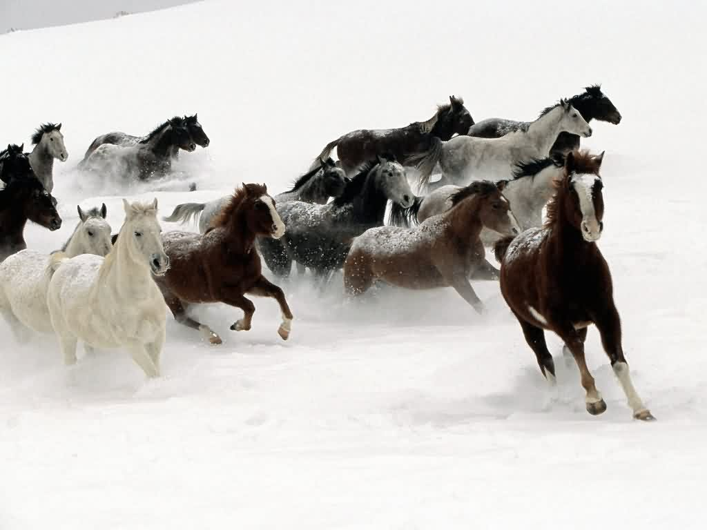 Simple   Wallpaper Horse Winter - wild+horses+wallpapers+1  Pictures_93628.jpg