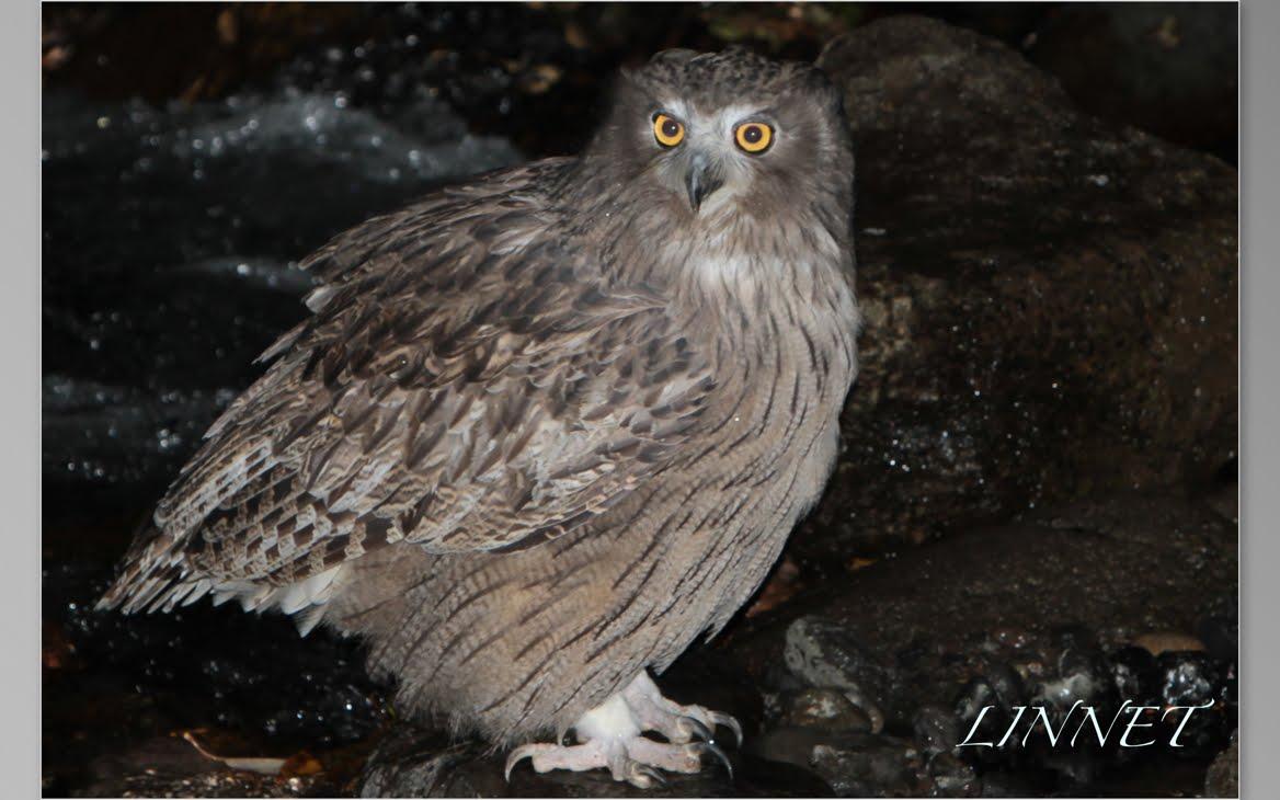 フクロウの館(Owl)